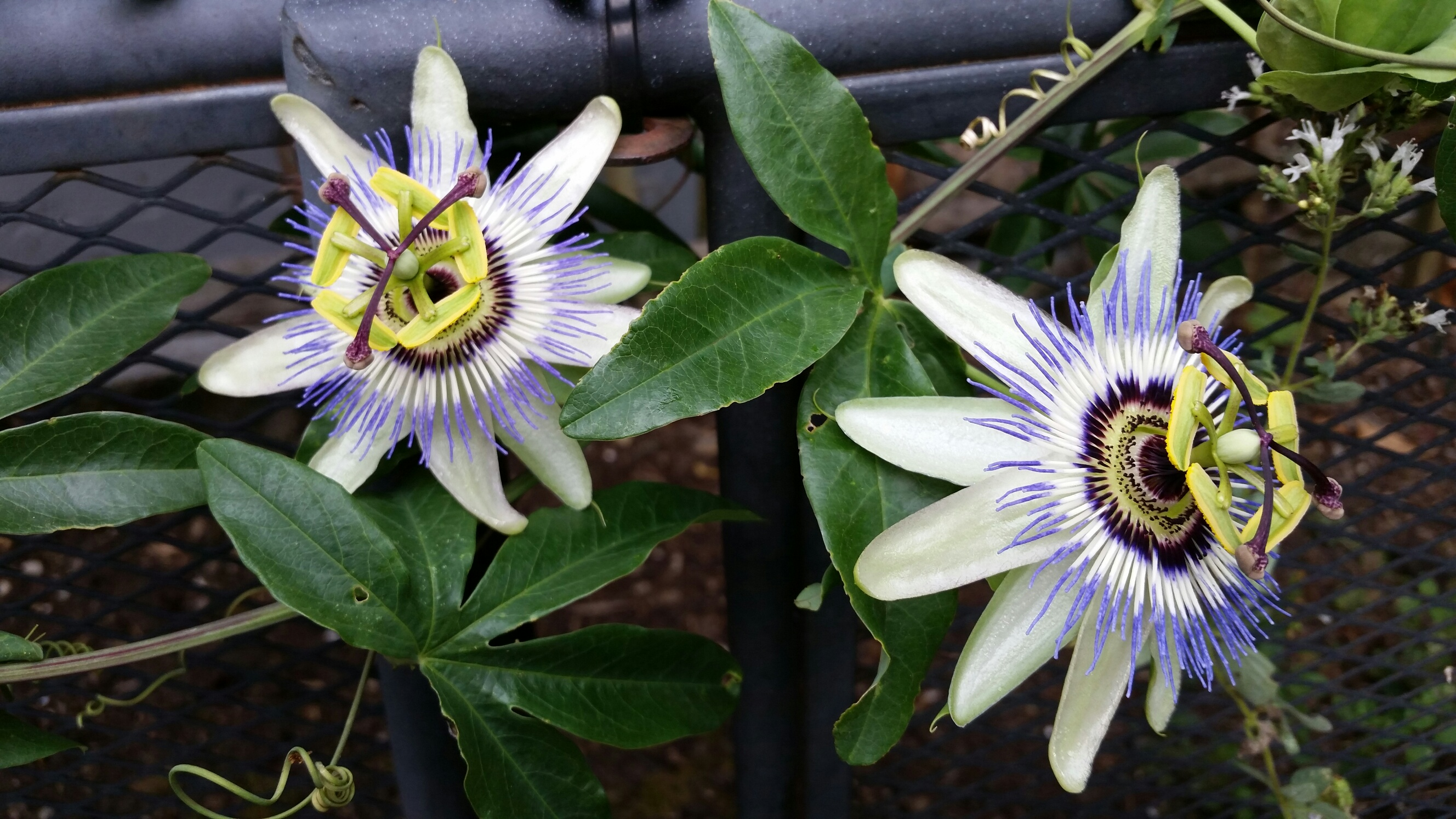 The Magic Of Passionflower