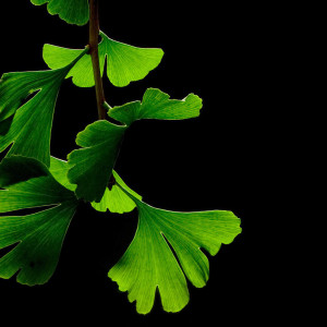 Tea ingredient Ginkgo