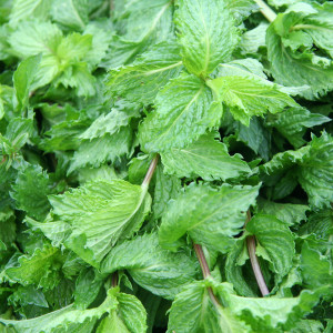Tea ingredient Mint