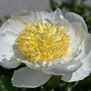Tea ingredient White Peony
