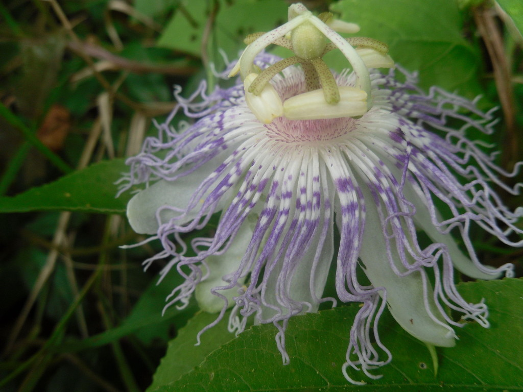 The Magic of Passionflower AstroloTea